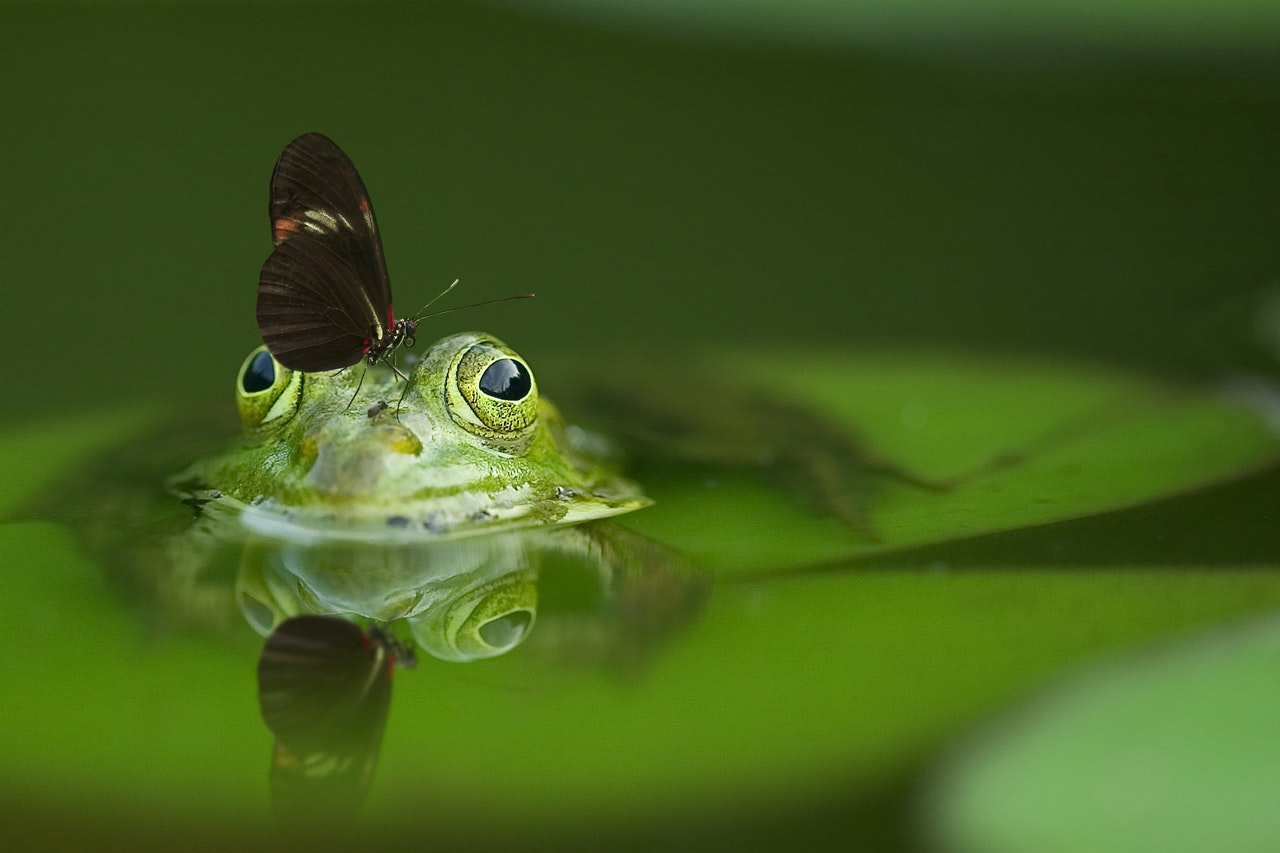 Butterfly on a frog